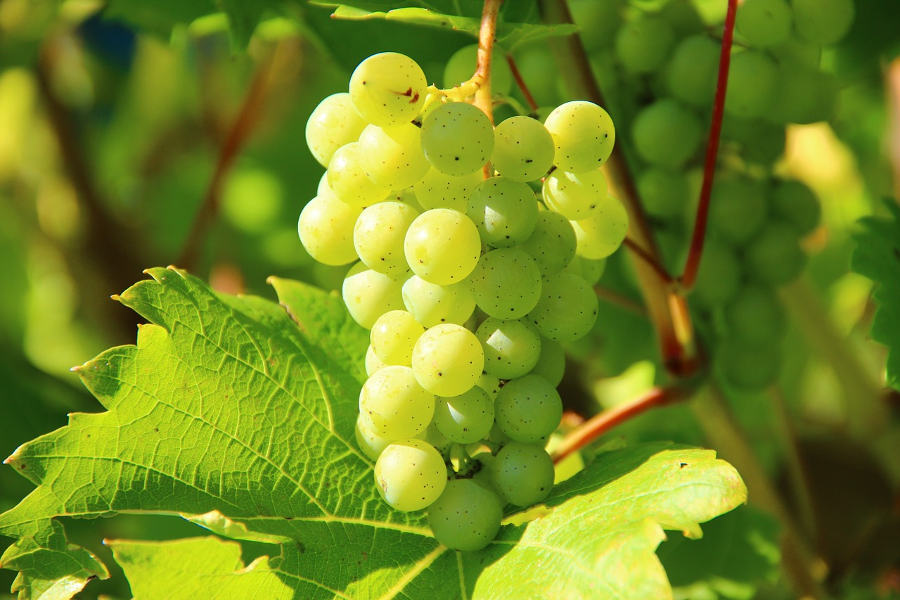 дегустація вина Словаччини
