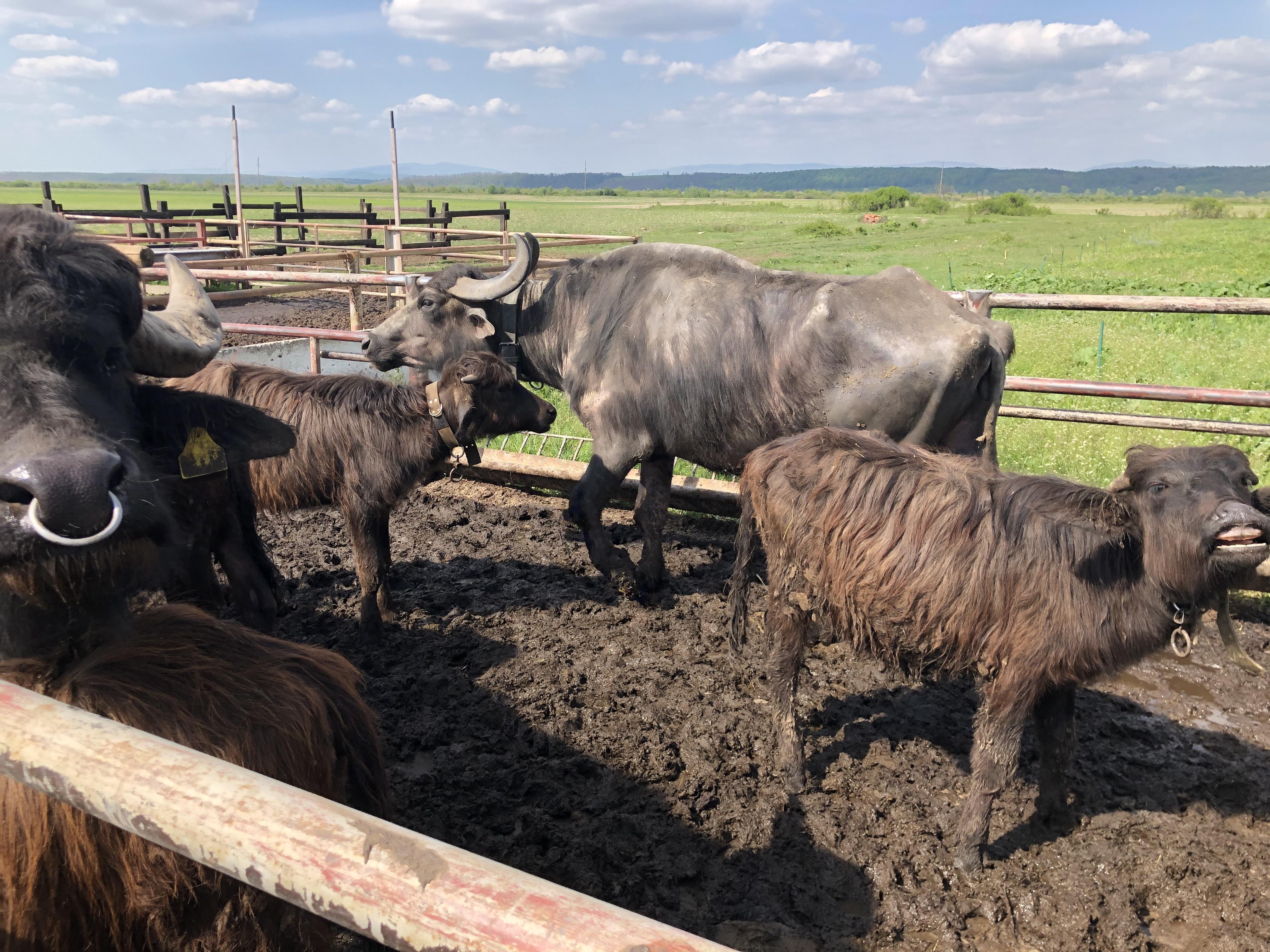 буйволина ферма в олешнику