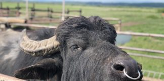 буйволина ферма